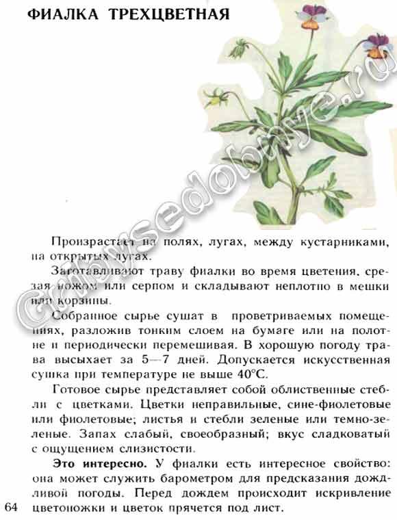Фиалка трехцветная: лечебные свойства и противопоказания, применение
