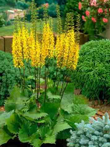 Бузульник: выращивание из семян, посадка и уход в открытом грунте