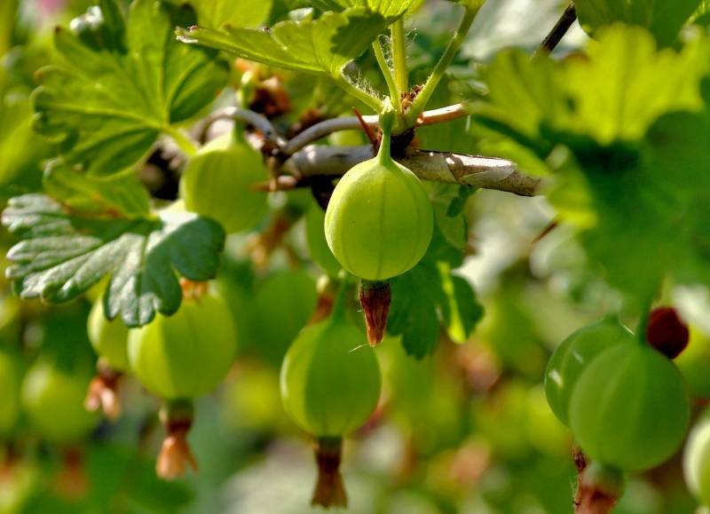Крыжовник малахит: описание сорта, особенности выращивания и ухода