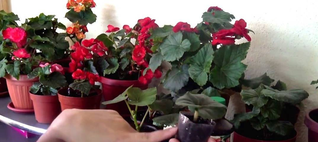 Чем подкормить бегонию: какие удобрения нужно вносить для обильного цветения, каковы правила полива в домашних условиях, что из народных средств эффективно?