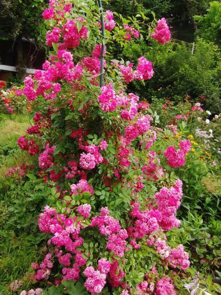 Почвопокровные розы цветущие все лето.