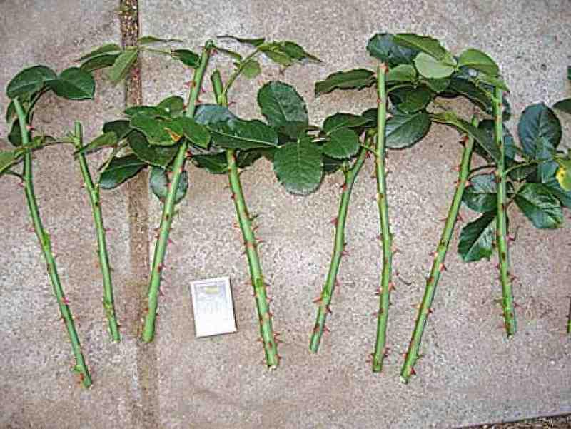 Буррито – метод размножения роз