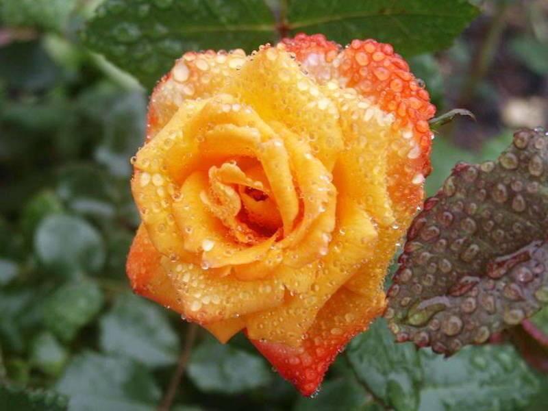 Сорта роз (75 фото): какие виды роз бывают? описание лучших новых сортов, названия самых ароматных роз