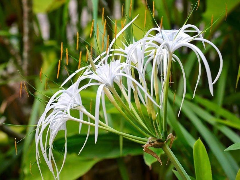 Правила ухода за гименокаллисом: цветок hymenocallis festalis в домашних условиях