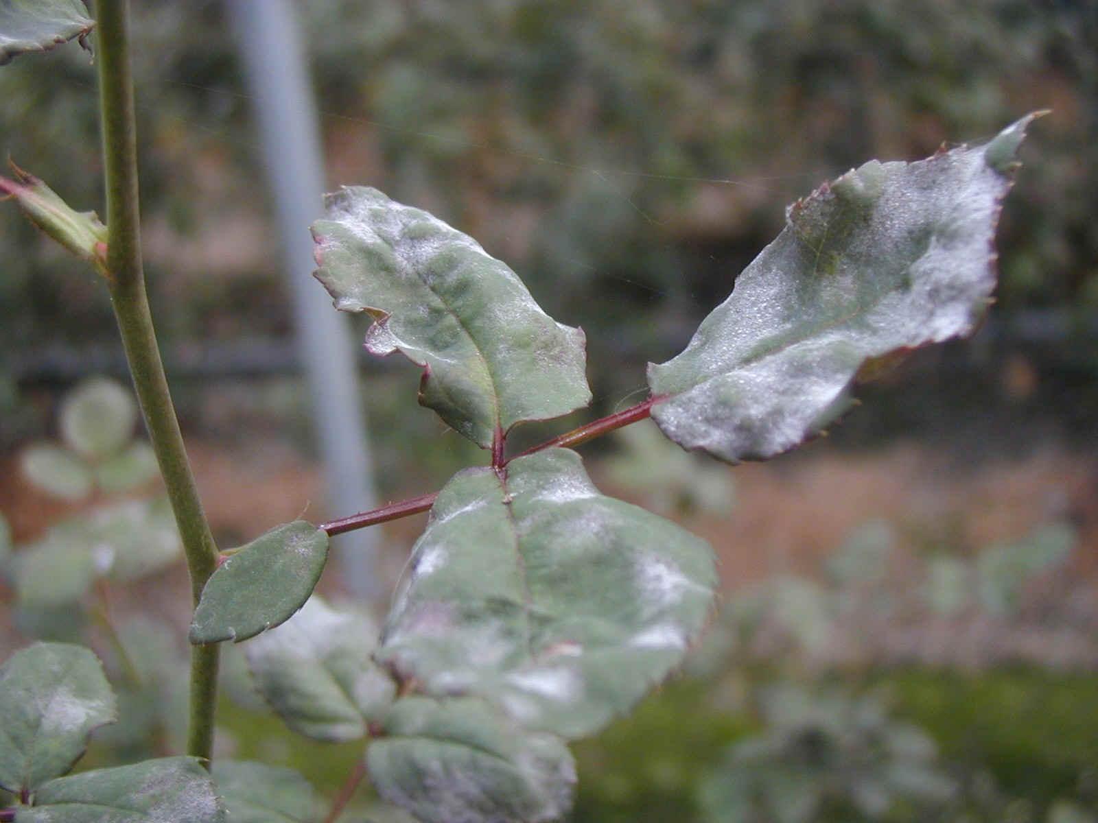 Драцена — болезни цветка и как с ними бороться