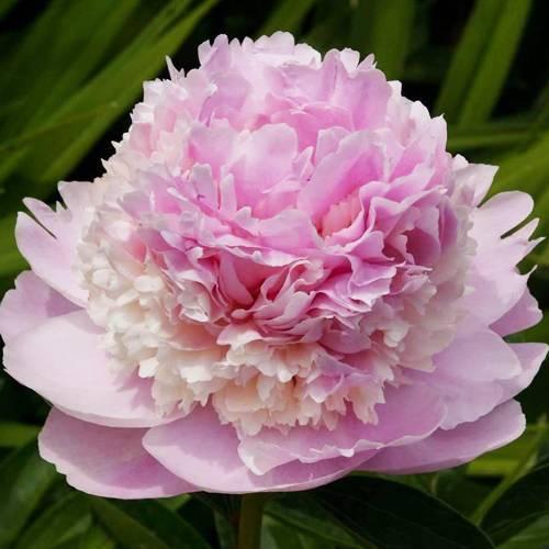 Пион энн казенс (paeonia ann cousins) — описание сорта