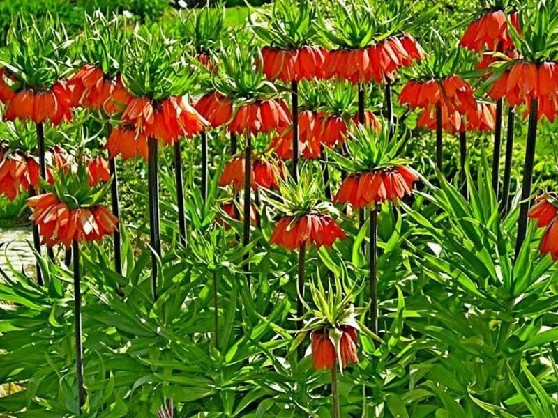 Подробное описание русского рябчика, в чем особенности цветков и их внешний вид