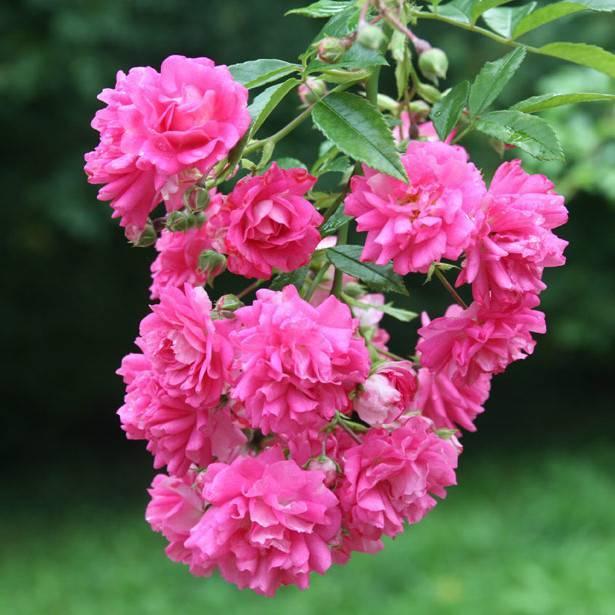 Какие существуют зимостойкие сорта роз