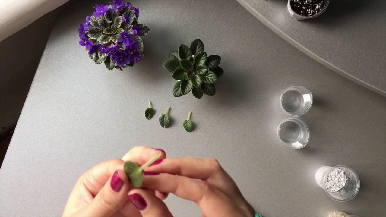 Львиный зев — описание цветка, посадка, болезни