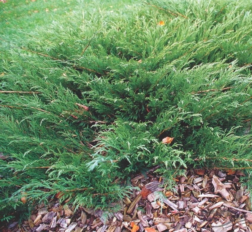 Можжевельник: как правильно выбрать и посадить кустарник весной?