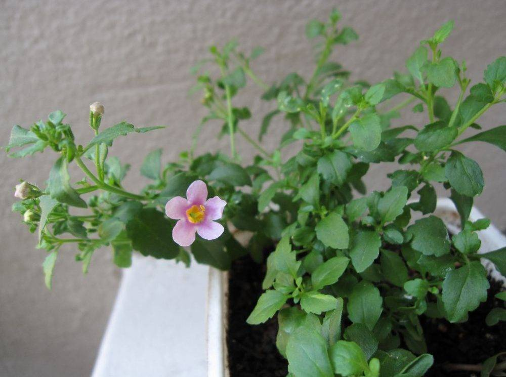 Достоинства бакопы (сутеры) — фото цветов, посадка в открытый грунт и уход
