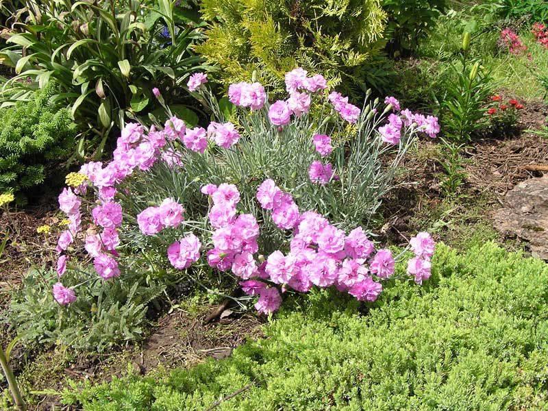 Растение армерия: выращивание, сорта с фото