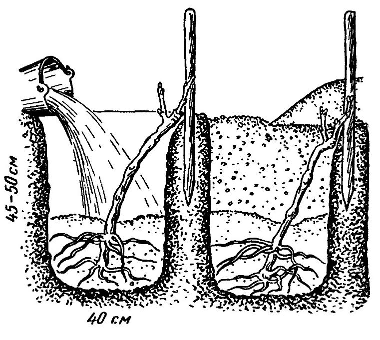Обзор популярных видов и сортов посконника с фото
