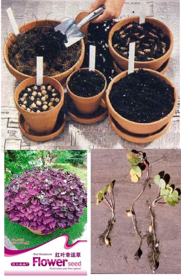 Цветок кислица: уход в домашних условиях, фото, посадка, размножение оксалиса
