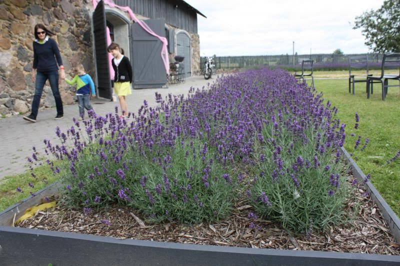 Как вырастить ароматную лаванду: нюансы посадки и ухода в открытом грунте