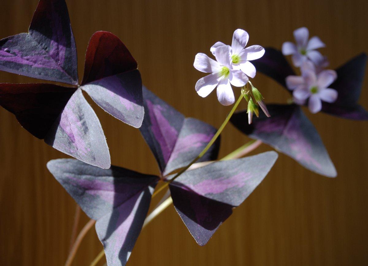 Особенности и нюансы ухода за растением кислица «фиолетовая» (оксалис) в домашних условиях