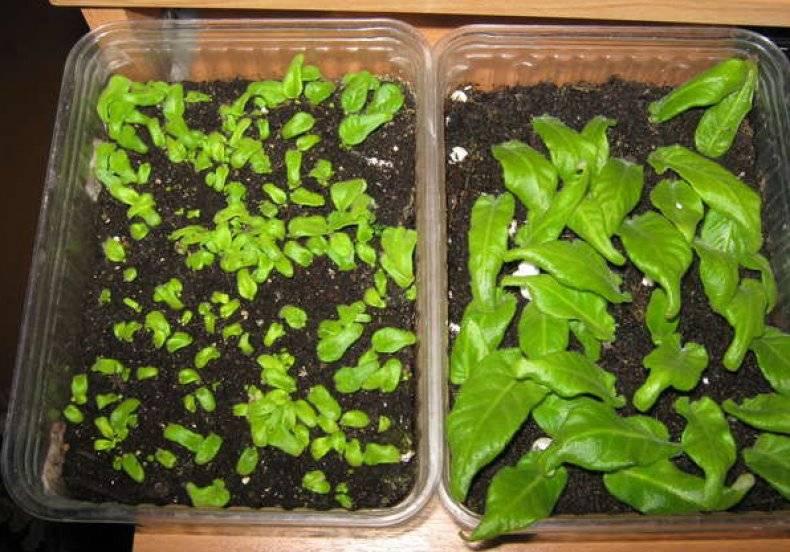 О цветах стрептокарпусах, уходе и выращивании из семян или листьев в горшке дома