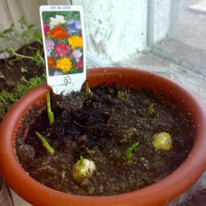 Фрезия: выращивание и уход в домашних условиях - подробная инструкция!