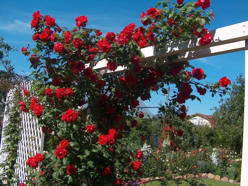 Плетистые розы: посадка и уход, фото, размножение и обрезка, сорта