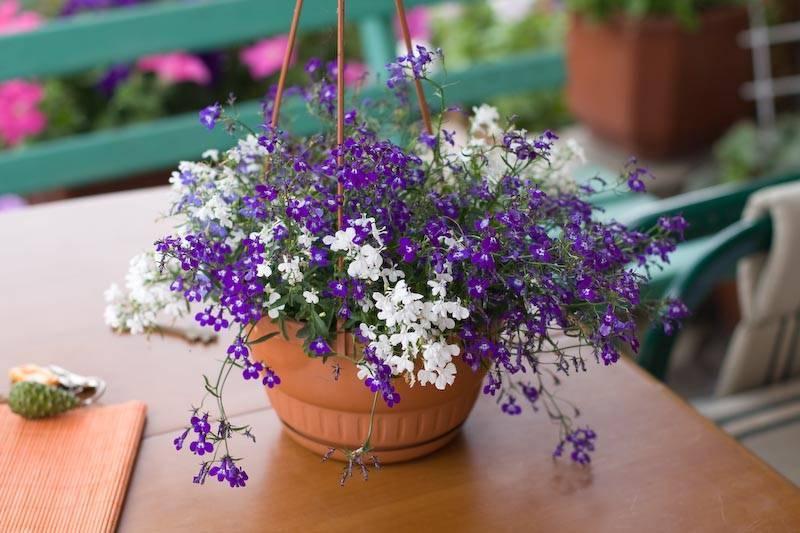 Лобелия ампельная: выращивание из семян