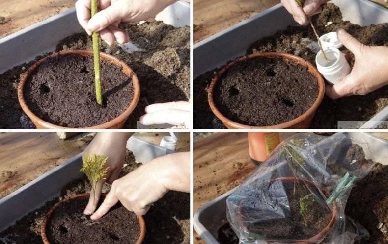 Опунция, уход в домашних условиях, виды с фото и выращивание и семян