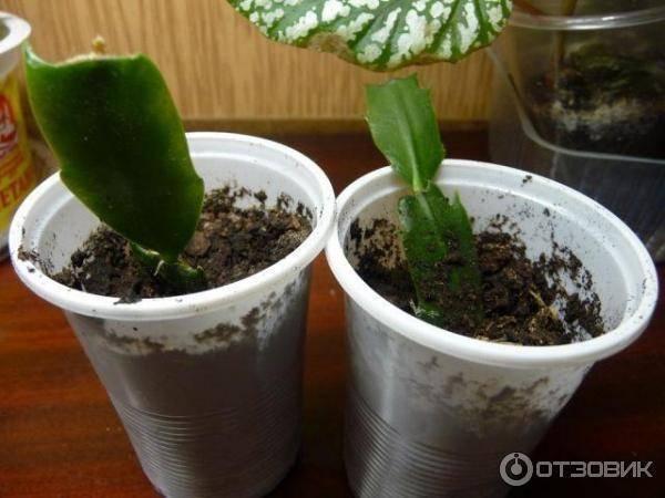 Размножение декабриста черенками, листом, семенами, прививкой