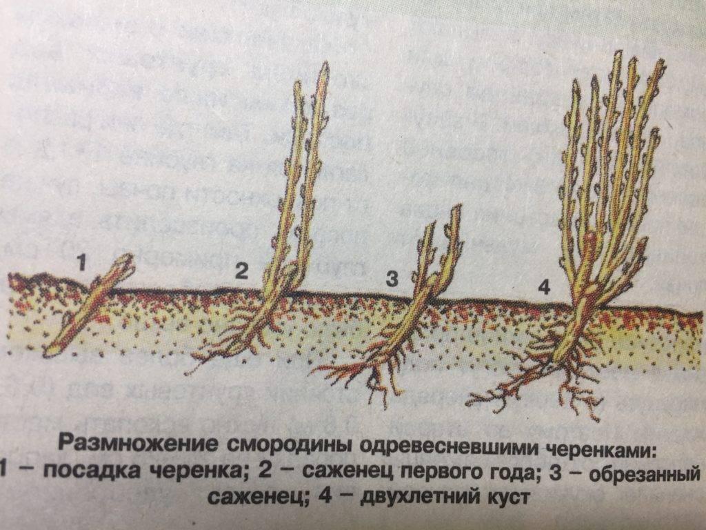 Размножение раннецветущего кустарника форзиции: семенами, отводками, черенками