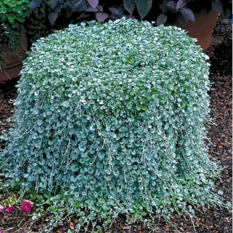 Популярные виды серебристый и изумрудный водопад растения дихондра, фото и описание