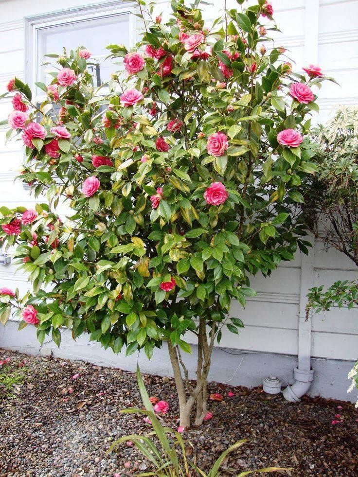Камелия (67 фото): что это такое? уход за комнатным цветком в домашних условиях. описание камелии красной и белой, розовой и других сортов
