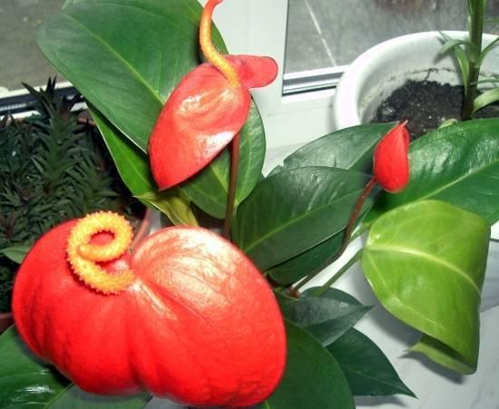 Антуриум в комнатном цветоводстве