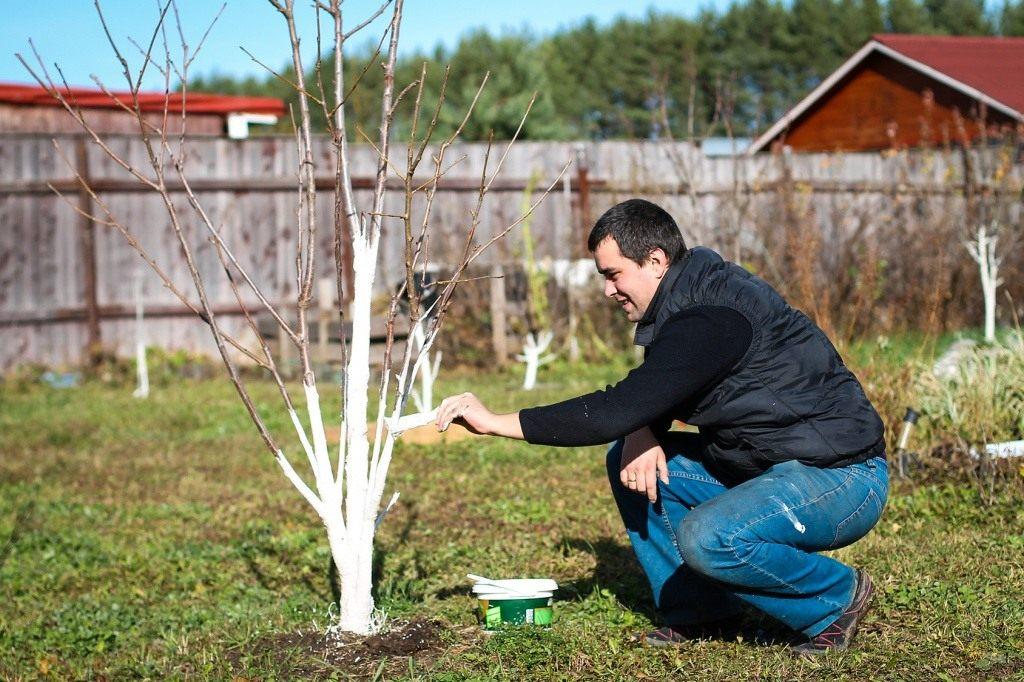 Побелка деревьев. для чего, когда и чем белить деревья | сад и огород.ру