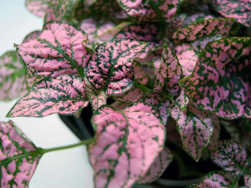 Цветок гипоэстес уход в домашних условиях выращивание из семян размножение черенками. выращивание гипоэстеса в домашних условиях