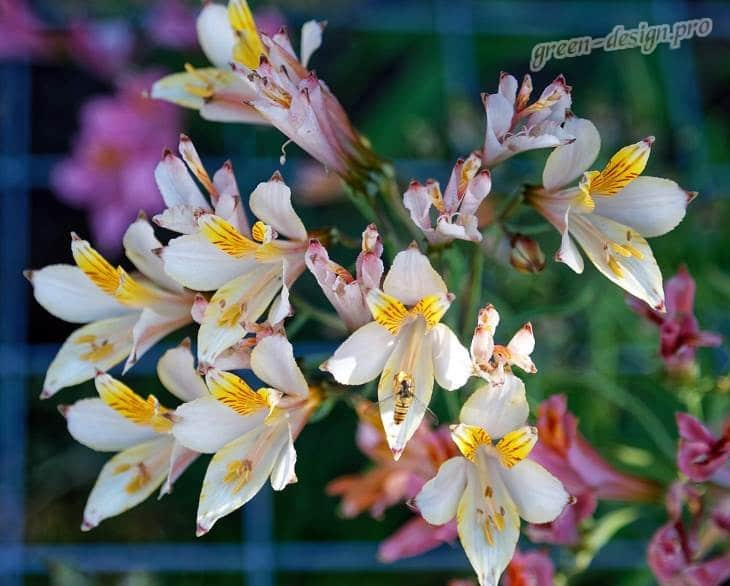 Цветы альстромерия – буйство красок и роскошь соцветий
