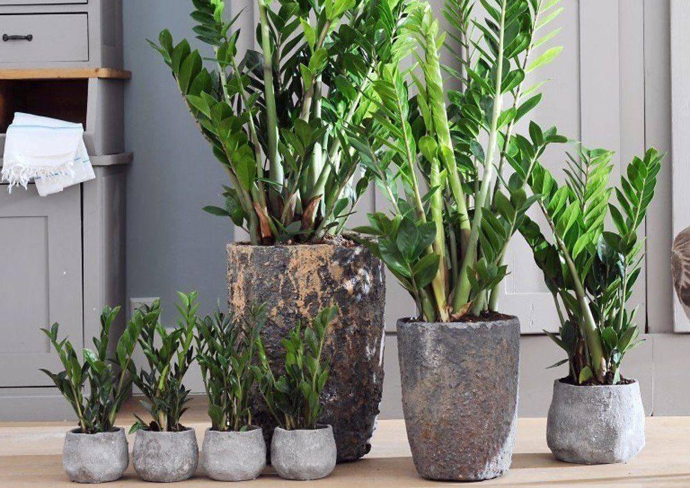 Замиокулькас (64 фото): описание «долларового дерева», уход в домашних условиях за комнатным цветком. ядовитый или нет?