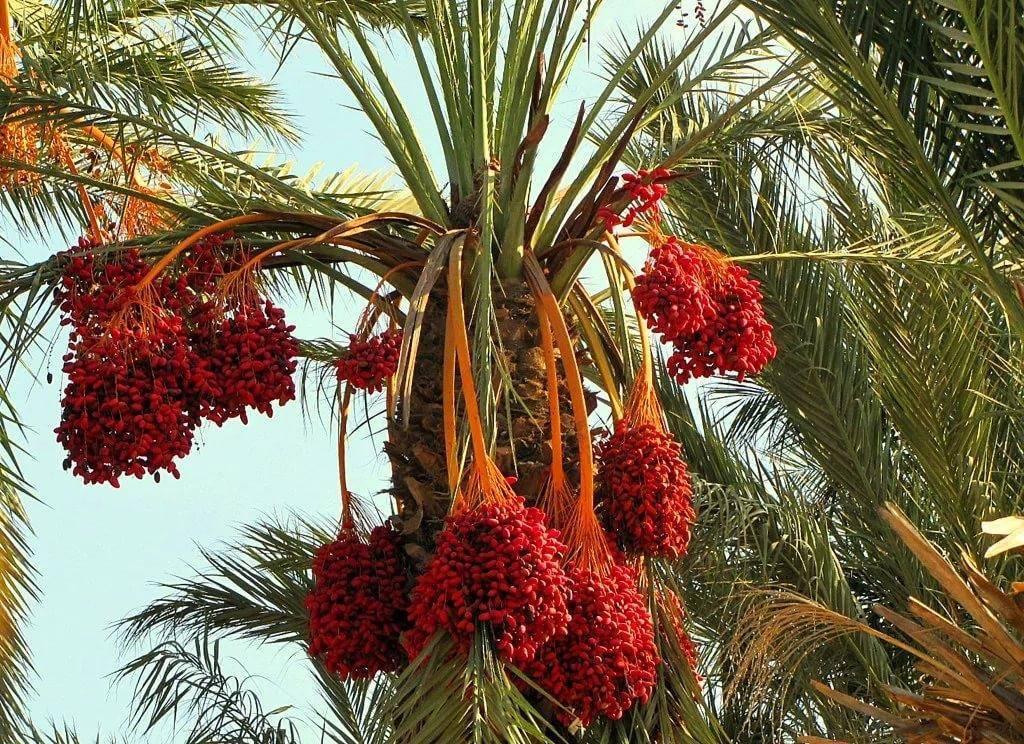 Как растут финики, как выглядят финиковые пальмы