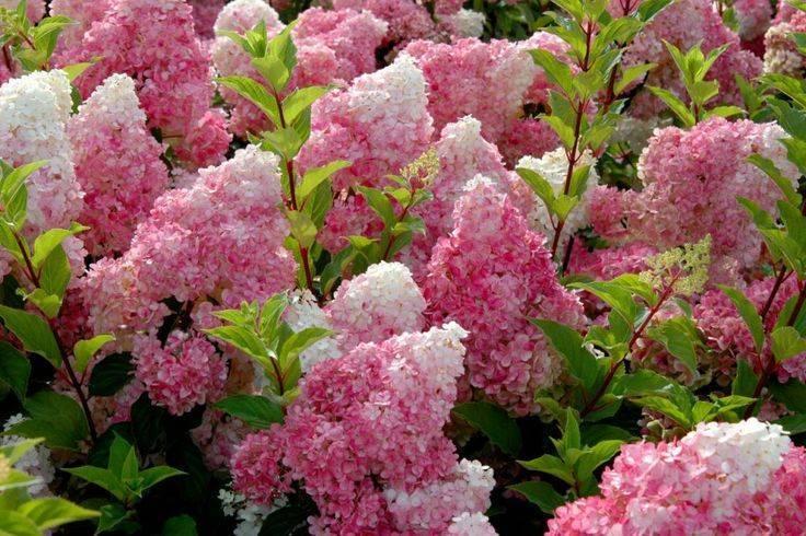 Гортензия долли: описание сорта, советы по выращиванию + фото