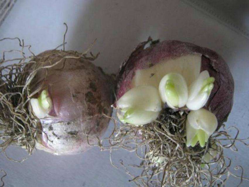 Когда выкапывать гиацинты после цветения и как хранить?