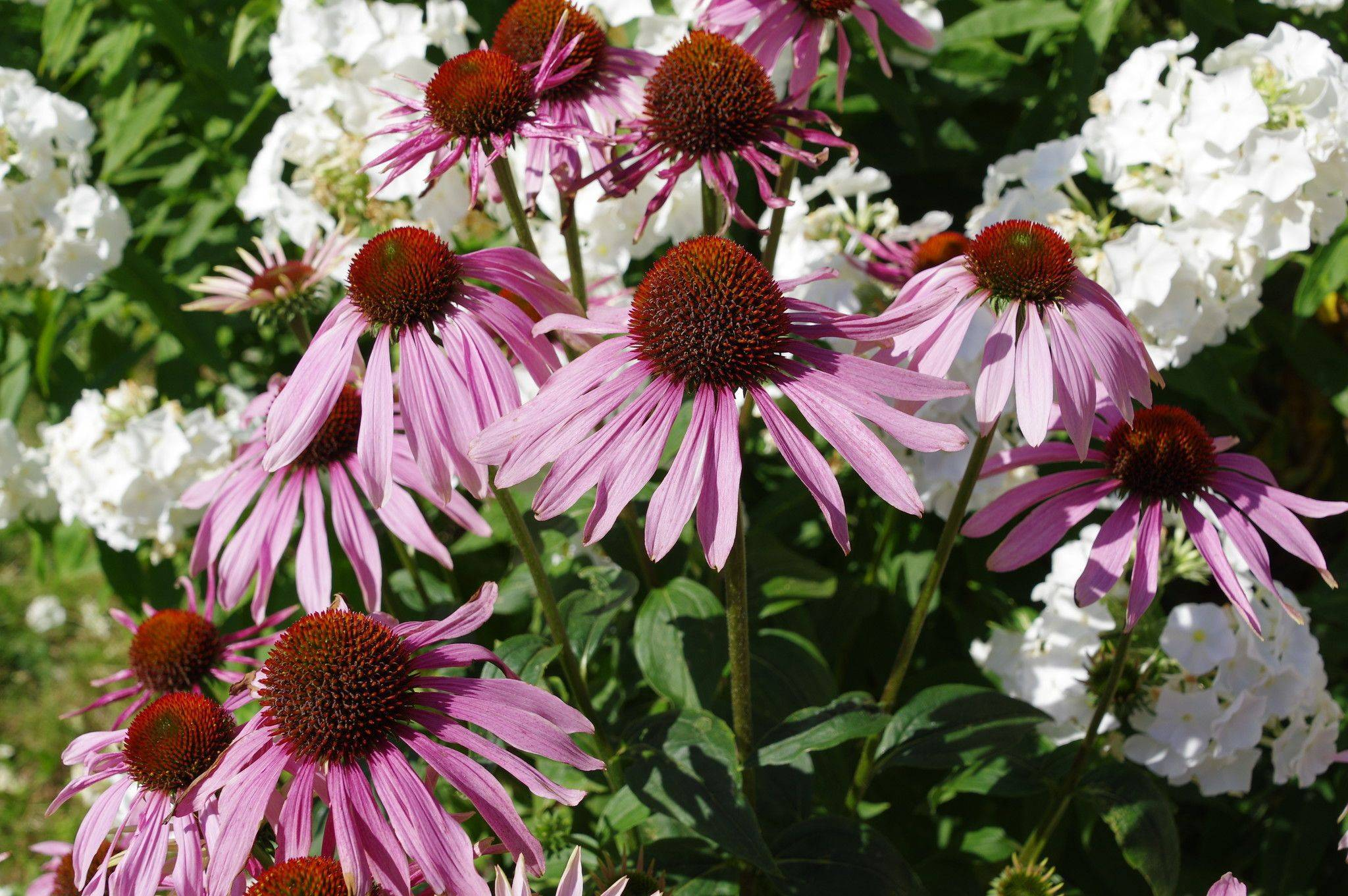 Цветок эхинацея: свойства, посадка в открытый грунт