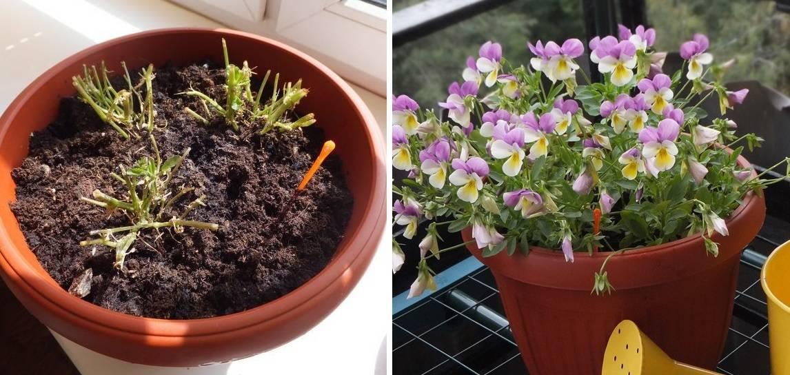Посадка фиалок, размножение фиалок семенами и черенками, уход и выращивание, агротехника фиалок