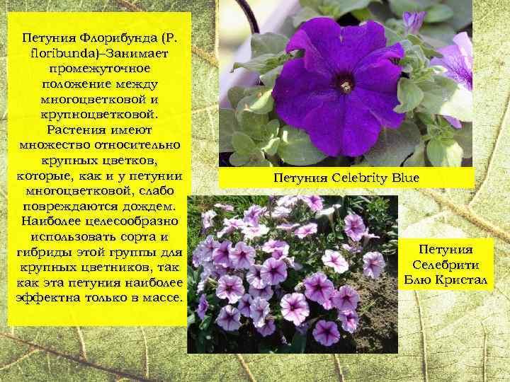 Лучшие сорта петунии — названия гибридов, фото