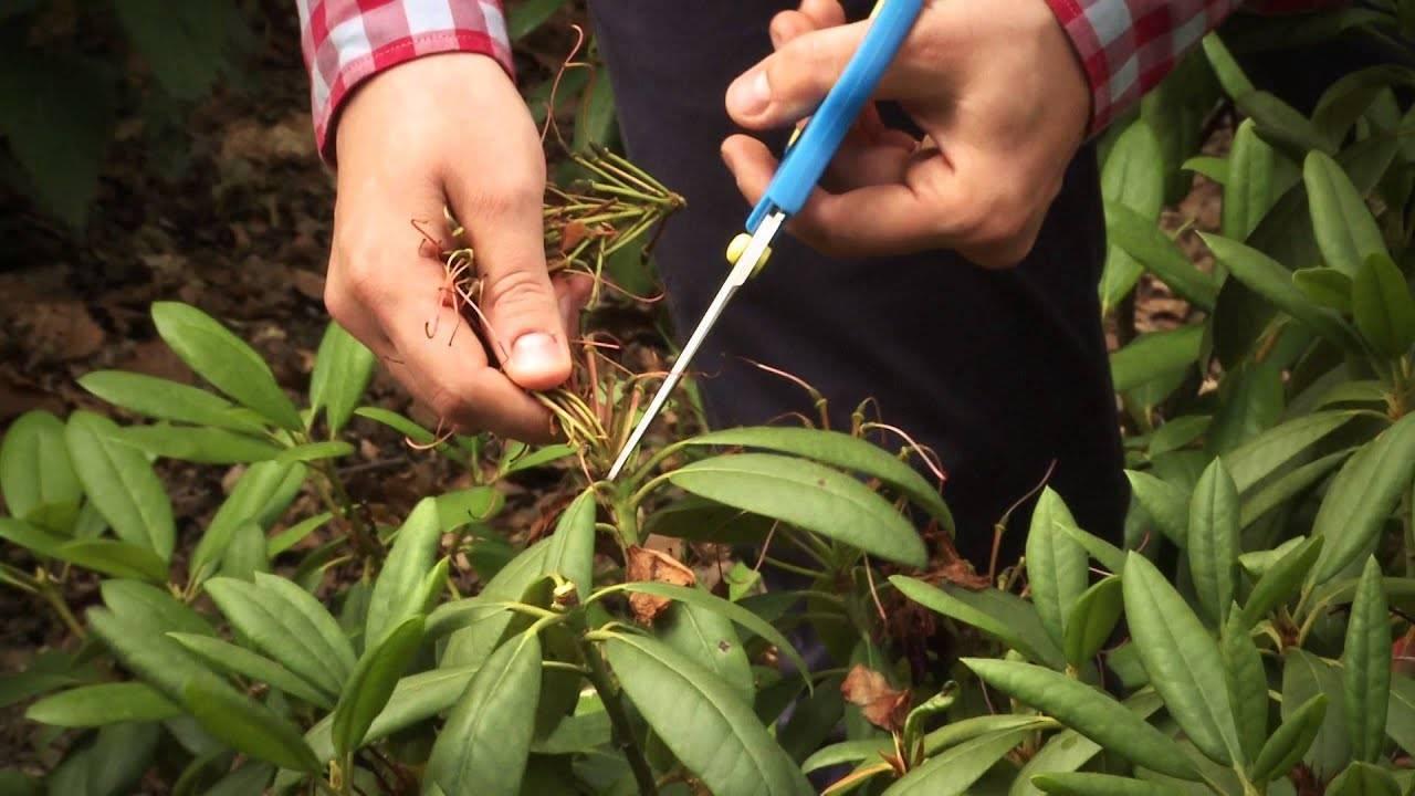 Как размножают лаванду от кустов весной и летом: делением куста, черенкованием