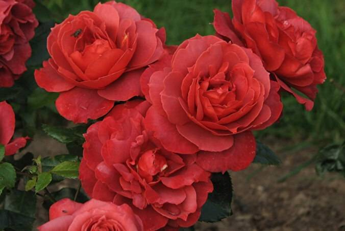 Роза хот какао энциклопедия роз