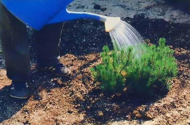 Как правильно подкармливать рассаду в грунте?