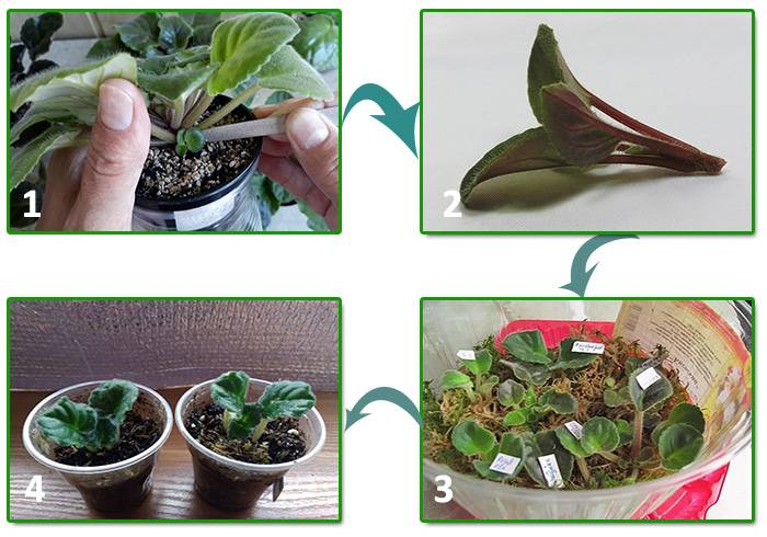 Как размножить фиалку — пошаговая инструкция