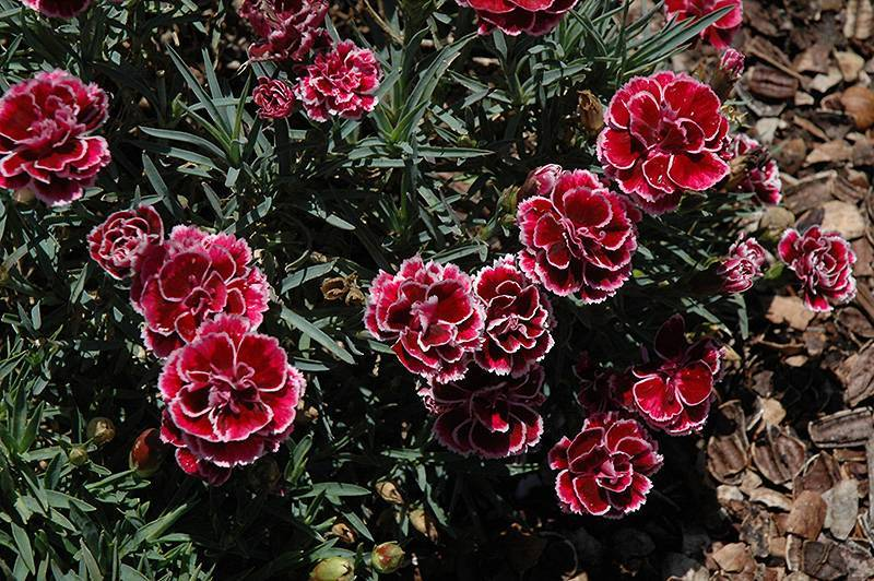 Кустовая гвоздика (59 фото): описание многолетних садовых цветов, посадка и уход, размножение