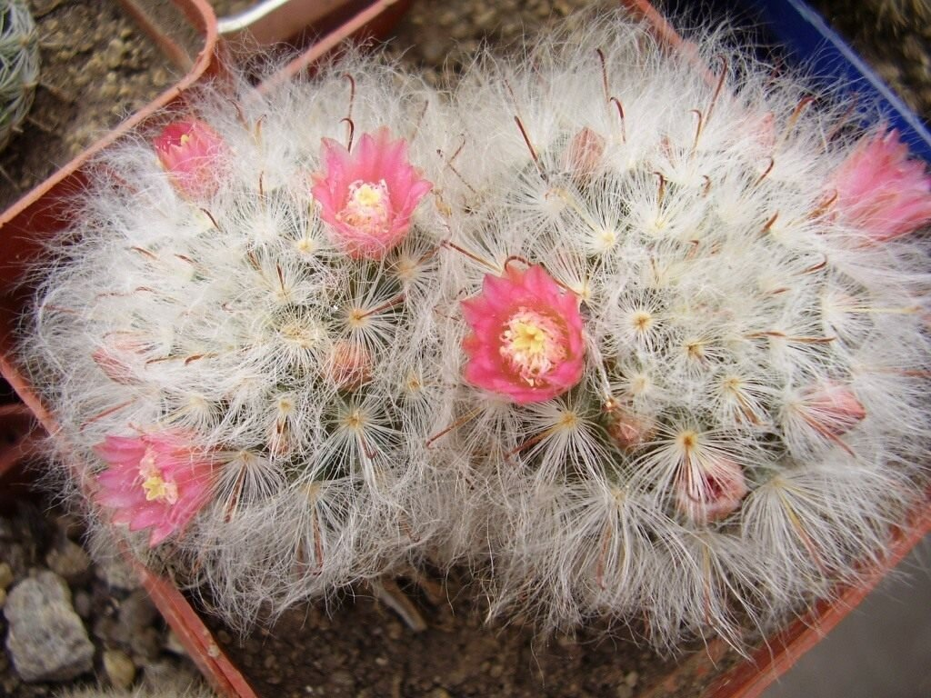 Гимнокалициум: микс и другие популярные виды растения и уход за кактусом дома