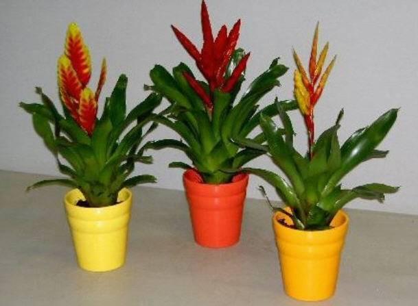 Цветок вриезия: уход в домашних условиях, фото, пересадка, размножение, что после цветения