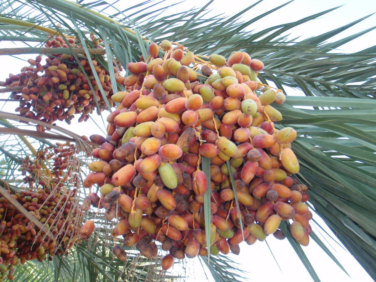 Финиковая пальма — как вырастить дома