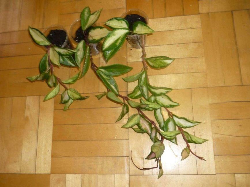 Посадка бересклета — размножение черенками, отводками, делением куста