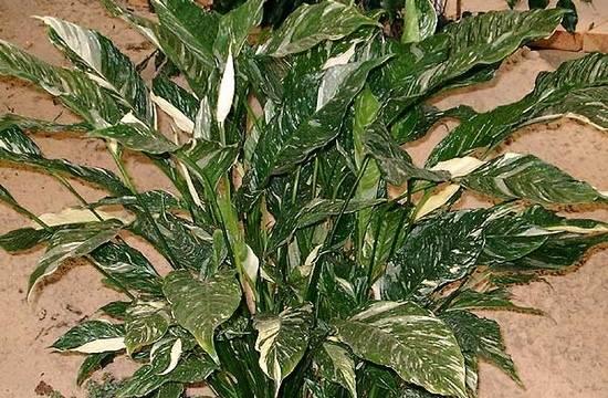 Обзор популярных видов и сортов спатифиллума с фото
